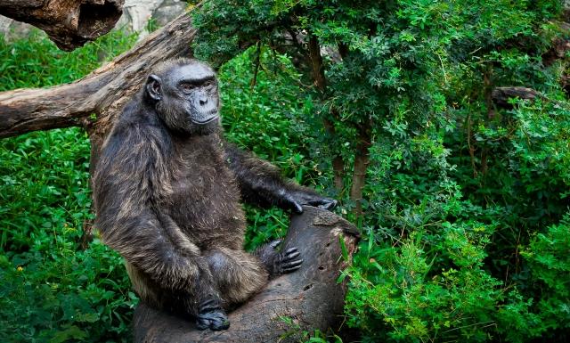 conservacion chimpance